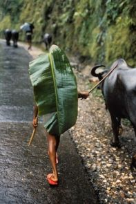 A banana leaf serves as an umbrella for a boy herding water buffalo, Kathmandu, Nepal, 1984 National Geographic, December 1984, Monsoons: Life Breath of Half the World, Vol. 166, No. 6 final print_milan